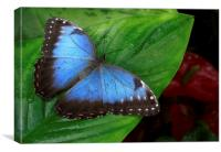 blue morpho and red anthuriums, Canvas Print