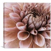 vintage faded pink dahlia, Canvas Print