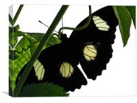 black butterfly, Canvas Print