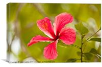 Pink Hibiscus flower, Canvas Print