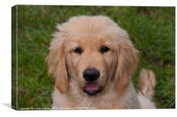Puppy Golden retriever, Canvas Print