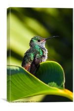 Hummingbird basking in dawn Sun, Canvas Print