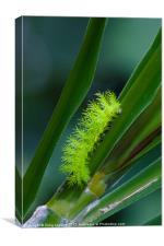 IO moth caterpillar, Canvas Print