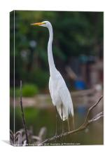 Great Egret on branch, Canvas Print