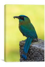 Blue crowned Motmot with a caterpillar, Canvas Print