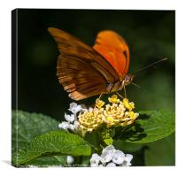 orange butterfly Julia, Canvas Print