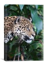 Jaguar big cat