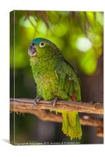Blue naped parrot, Canvas Print