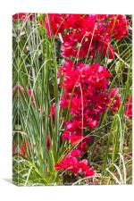 bougainvillea reaches down to the tall grass, Canvas Print