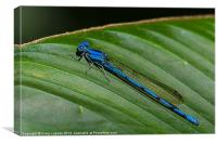 electric blue damsel fly, Canvas Print