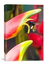 Tropical bee visits a Heliconia flower