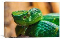 green tree pit viper
