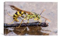 Wet Wasp, Canvas Print