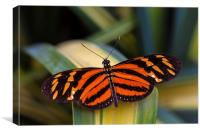 orange and black butterfly, Canvas Print