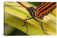 Orange banded butterfly face, Canvas Print