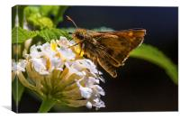 small brown hairy butterfly, Canvas Print