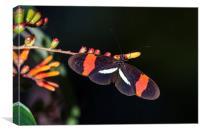 postman butterfly feeding