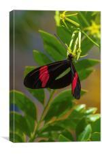 postman butterfly feeding, Canvas Print