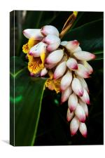 white Ginger flowers, Canvas Print