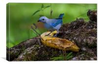 blue-gray tanager, Canvas Print