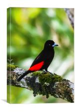 Male cherries tanager
