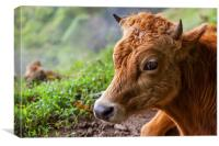 young calf lying down, Canvas Print