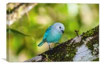 blue gray tanager on a branch, Canvas Print