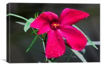purple hibiscus after early morning rain, Canvas Print