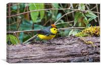 tiny bird - a collared redstart, Canvas Print