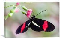 Postman butterfly feeding, Canvas Print