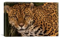 Jaguar facing the camera, Canvas Print