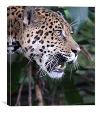 Jaguar snarling
