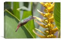 Rufus Hummingbird feeding, Canvas Print