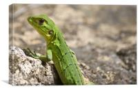 small green lizard, Chameleon, Canvas Print