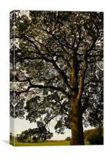 Spanish Oak, Canvas Print