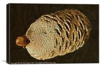 Banksia Grandis Seed pod, Canvas Print