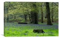Bluebells at Blackberry Camp, Canvas Print