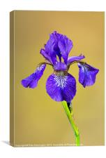 Single Iris flower, Canvas Print