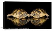 Two baby tortoises, Canvas Print