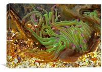Sea life - Constantine Bay, Canvas Print