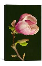 Magnolia, Canvas Print