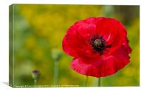 Poppy against Yellow background, Canvas Print
