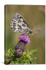 Marbled White, Canvas Print