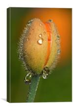 Poppy drops, Canvas Print