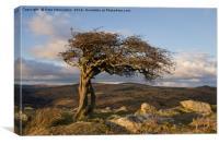 Lone tree on Dartmoor, Canvas Print