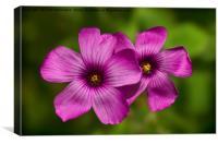 Oxalis flowers, Canvas Print