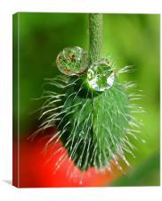 Poppy seed and rain drops, Canvas Print