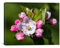 Apple Blossom, Canvas Print