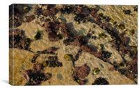 Cornish coral(?) - at Constantine Bay, Canvas Print