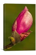 Magnolia Bud, Canvas Print
